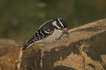 Female Downy Woodpecker investigates a tree stump in early October.