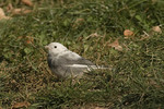 Leucistic Dark-eyed Junco, Slate-colored subspecies, in late October.