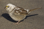 Leucistic White-throated Sparrow in winter.