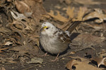 Leucistic White-throated Sparrow in winter. Central Park. New York, NY.