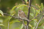 Adult Chipping Sparrow in winter plumage on fall migration in early October.