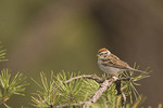 Chipping Sparrow with food for young.