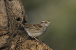 White-throated Sparrow in March.