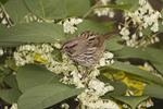 Song Sparrow feeding in Japanese Knotweed (Polygonum cuspidatum) in October.