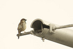 Male House Sparrow perched outside his nest in the cross bar of a street light.