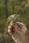 First fall White-eyed Vireo on fall migration in early October. CAPTIVE.