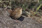 Winter Wren in early October on fall migration.