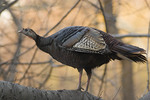 Female Wild Turkey going to roost at dusk in late March.