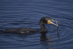 Double-crested Cormorant fishing.