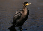 Double-crested Cormorant standing on ice.