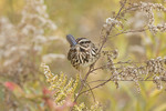 Song Sparrow. Late October. Wildflower Meadow, Central Park. NYC.