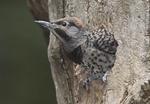 Northern Flicker nestling at nest in July.