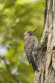 Male Northern Flicker at nest in June.