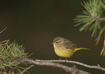 Eastern Palm Warbler in mid-October on fall migration.