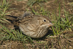 Vesper Sparrow in November on fall migration.