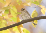 Female or young male Purple Finch in early November.