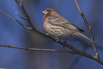 Male House Finch in late January.
