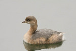 Pied-billed Grebe on the Reservoir in early November.