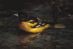 Adult male Baltimore Oriole bathing.