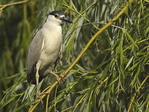 Adult Black-crowned Night-Heron perched in a willow in mid-June.