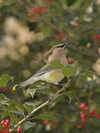 Cedar Waxwing in American Holly in mid November. Strawberry Fields, Central Park.