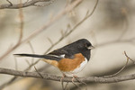 Male Eastern Towhee in mid November. Strawberry Fields, Central Park.