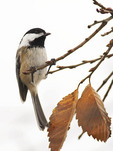 Black-capped Chickadee in early November on fall migration.