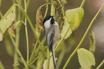 Black-capped Chickadee in early November.