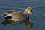 Male Gadwall preening in early December.  