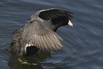 American Coot on the Reservoir in April.