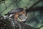 Adult male Cooper's Hawk dining on juvenile European Starling (Sturnus vulgaris).