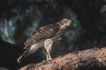 Cooper's Hawk fledgling in late June.