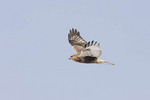 Juvenile light morph Rough-legged Hawk in flight.
