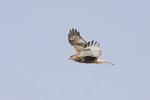 Juvenile light morph Rough-legged Hawk in flight.