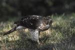 Juvenile female Cooper's Hawk in July.