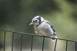 Fledgling Blue Jay near Sheep Meadow in late June. Central Park.