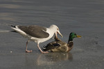 Great Black-backed Gull attacks a male Mallard (Anas platyrhynchos) on an ice shelf at the Central Park Reservoir.