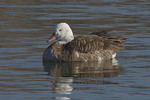 Hybrid Goose, probable Canada (Branta canadensis) x Snow (Chen caerulescens) goose.  Eastchester Bay. Pelham Bay Park. Bronx, NY. January 12, 2009.