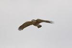 Sharp-shinned Hawk in flight in October on fall migration.