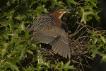 Green Heron shading the nest to regulate the temperature of the nestlings in mid July.  Central Park. NYC. Green Herons have nested in Central Park since 1996.