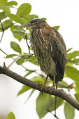 Juvenile Green Heron in mid September.