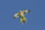 Monk Parakeet flying back to its nest with a twig it has collected.