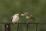 Red-eyed Vireo feeds its newly fledged young in early July.  Red-eyed Vireos occasionally breed in Central Park.