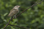 Red-eyed Vireo fledgling in early July. Red-eyed Vireos occasionally breed in Central Park.