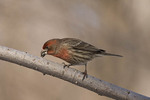 Male House Finch opening a black oil sunflower seed near feeders in late January.