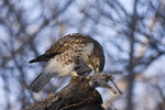 Immature Red-tailed Hawk eating an Eastern Gray Squirrel (Sciurus carolinensis) it has captured.  Late January.