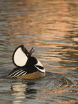Male Hooded Merganser displaying in early February.