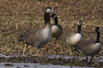 Hybrid Goose. Probable cross with Canada Goose.  Shown with Canada Geese for size comparison.