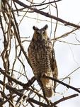 Long-eared Owl in February.