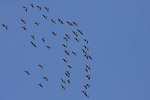Brant flock in flight over the north end of Central Park in mid October.